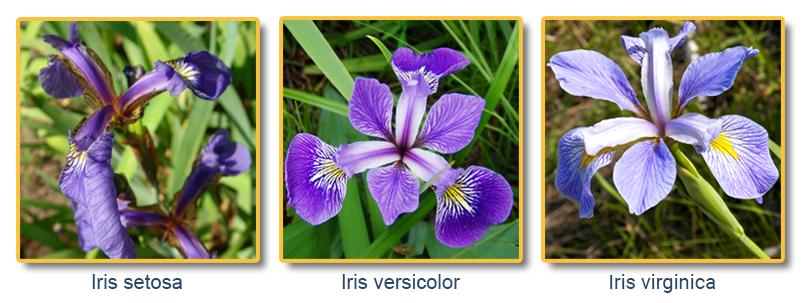 iris flower data set