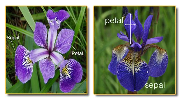 iris flower sepal and petal